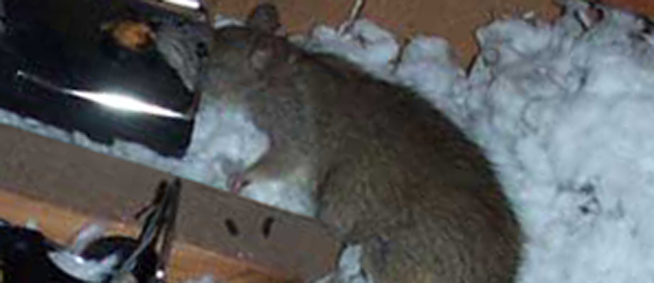 How To Get Rid Of Rats In The Attic Mouse Rat Removal