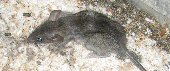 how to get rid of rats in the attic naturally