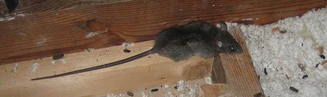 Can Rats Live In A Hot Attic