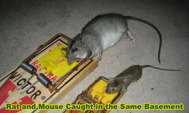 How To Remove And Get Rid Of Rats In The Basement Mice