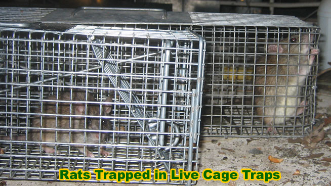 Humane Rat Trapping In Live Cage Traps How To Avoid