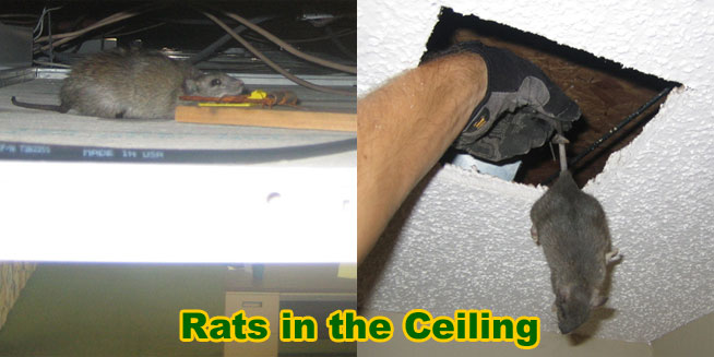 Dead Rat Carcass Removal How To Find Deceased Rodents Or