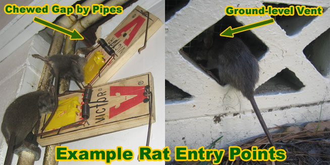 Rats Inside A Building How To Get Rid Of Rats In A