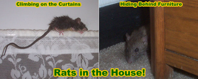 How To Remove And Get Rid Of Rats In A House Or Home