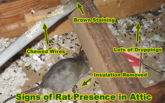 Rat Removal How To Remove Rats And Mice And Rodents
