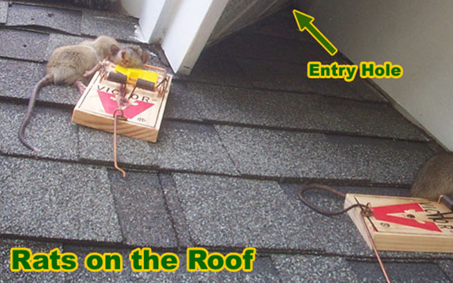 How To Remove And Get Rid Of Rats On The Roof