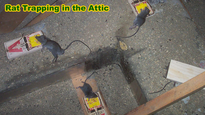 How To Catch A Rat Ways To Catch Rodents