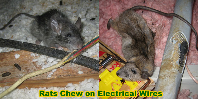 Rat Damage To Home Electrical Wires Pipes Eaves Car