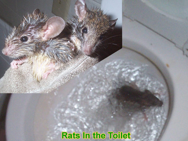 Can a Rat Get Into the House Through the Toilet?